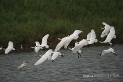 Black-faced Spoonbill 黑臉琵鷺 (Platalea minor)