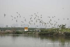 Black-headed Gull 紅嘴鷗 (Chroicocephalus ridibundus)