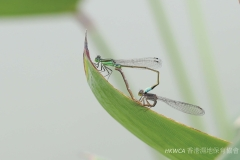 Common Bluetail 褐斑異痣蟌 (Ischnura senegalensis)