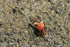 Fiddler Crab 弧邊招潮蟹 (Uca arcuata)