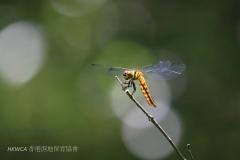Forest Chaser 華麗寬腹蜻 (Lyriothemis elegantissima)