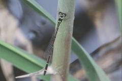 Four-spot Midget 廣瀨妹蟌 (Mortonagrion hirosei)