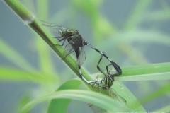 Green Skimmer 狹腹灰蜻 (Orthetrum sabina)