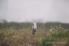 Grey Heron 蒼鷺 (Ardea cinereal)