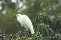 Little Egret 小白鷺 (Egretta garzetta)