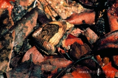 Marbled Pigmy FrogMarbled Pigmy Frog 花姬蛙 (Microhyla pulchra)