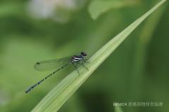 Marsh Dancer 毛面同痣蟌 (Onychargia atrocyana)