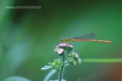 Orange-tailed Sprite 琉球橘黃蟌 (Ceriagrion auranticum)