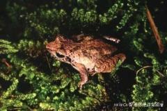 Romer's Tree Frog 盧氏小樹蛙 (Liuixalus romeri)