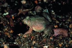 Rough-skinned Floating Frog 尖舌浮蛙 (Occidozyga lima)