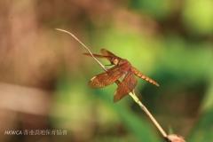 Russet Percher 網脈蜻 (Neurothemis fulvia)