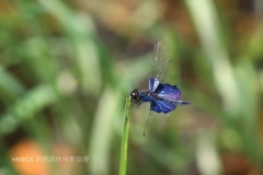 Sapphire Flutterer 三角麗翅蜻 (Rhyothemis triangularis)