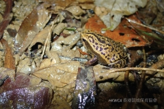 Spotted Narrow-mouthed Frog 花細狹口蛙 (Kalophrynus interlineatus)