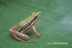 Two-striped Grass Frog 台北蛙 (Hylarana taipehensis)